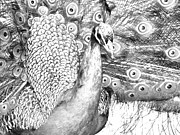 Peahen Posters - Lifes Beautiful Poster by JFantasma Photography