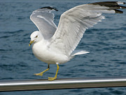 Larus Delawarensis Photos - Lift Off by Ann Horn