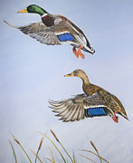 Ducks Pastels - Lift Off by Deb LaFogg-Docherty