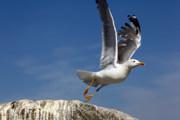 Flying Seagull Prints - Lift off Print by James Brunker