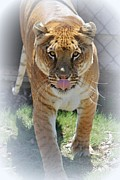 Liger Framed Prints - Liger Approaches Framed Print by Diane Alexander