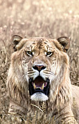 Liger Framed Prints - Liger Closeup Portrait in Dry Grass Framed Print by Brandon Alms