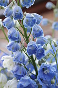 Blue Delphinium Framed Prints - Light Blue Delphiniums Framed Print by Carol Groenen