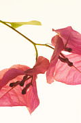 Bougainvillae Prints - Light bougainvillae Print by Rodger Shagam