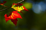 Red Leaves Photos - Light gives us all a Chance by Aimelle