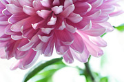 Flower Design Posters - Light Impression. Pink Chrysanthemum  Poster by Jenny Rainbow