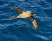 Drake Art - Light-mantled Sooty Albatross by Tony Beck