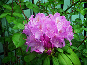 Azalea Bush Photo Prints - Light Purple Rhodedendron Print by Aimee L Maher