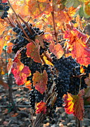 Grape Vineyard Prints - Light through Fall Vineyard Print by Carol Groenen