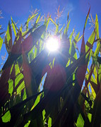 Cornfield Photos - Light Through the Corn Maze by Brooke Finley