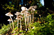 Mycology Prints - Lighthouse Park Mushrooms 4 Print by Terry Elniski
