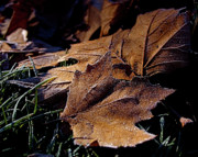 Fallen Leafs Photos - Lightly Frosted by Rona Black