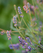 Evening Light Prints - Lightly Lavender Print by Maria Suhr