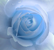Rain Drop Posters - Lightness of a Blue Rose Flower Poster by Jennie Marie Schell