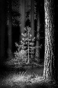 Landscaped Prints - Lightpainting The Pine Forest New Growth Print by Dirk Ercken