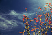 Ocotillo Cactus Framed Prints - Like Flying Amongst the Clouds Framed Print by Laurie Search