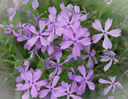 Phlox Originals - Lil Purple Cluster by Sue Karski