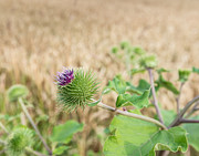 Arctium Lappa Prints - Lilac blooming Greater Burdock against a blurred yellow cornfiel Print by Ruud Morijn