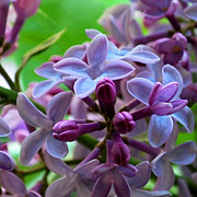 Lilac Prints - Lilac Blossoms and Buds Print by Nancy Mueller