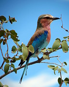 Ramona Johnston - Lilac Breasted Roller