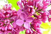 The Creative Minds Art and Photography - Lilac closeup
