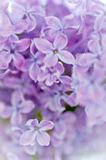 Violet Art Prints - Lilac Glow 1 Print by Jenny Rainbow