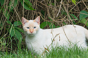Andrew  Michael - Lilac point Siamese cat
