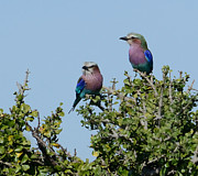 All - Lilac Roller Bird Couple Kenya by Tom Wurl