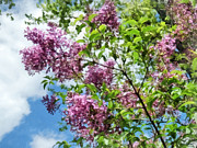 Lilacs And Clouds Print by Susan Savad