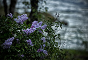 Belinda Posters - Lilacs by the River Poster by Belinda Greb