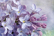 Floral Photos Prints - Lilacs Print by Cindi Ressler