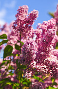 Blooming Bushes Prints - Lilacs Print by Elena Elisseeva