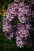 Lilacs Posters - Lilacs in Bloom Poster by Mary Machare