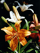 Robert Lozen Posters - Lilies Assorted Colors Poster by Robert Lozen
