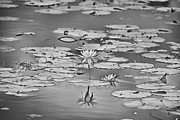 Billabong Posters - Lilies-Black and White Poster by Douglas Barnard