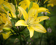 2013 Pyrography Posters - Lilies in the sun Poster by Shirley Tinkham