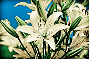 Blooms Pyrography Framed Prints - Lilies in White Framed Print by Shirley Tinkham