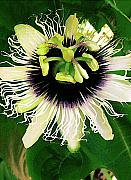 Passion Fruit Photo Prints - Lilikoi Flower Print by James Temple