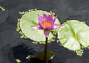 Water Lilly Prints - Lilly Lake Print by Carey Chen
