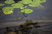 Lilly Pad Prints - Lilly Pad Print by John McGraw