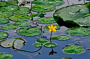 Lilly Pad Acrylic Prints - Lilly Pad Pond Acrylic Print by Robert Harmon