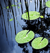Tim Hester Prints - Lilly Pad Pond Print by Tim Hester