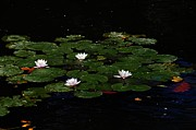 Joseph Frank Baraba - Lilly Pads With White...