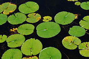 Xcape Photography - Lilly Pads