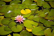 Lilly Pad Acrylic Prints - Lilly Pond Pink Acrylic Print by Peter Tellone