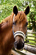 Horse Images Posters - Lilly Portrait Poster by Angela Doelling AD DESIGN Photo and PhotoArt