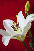 Lilies Posters - Lily against red wall Poster by Garry Gay