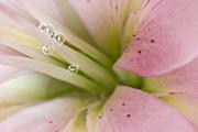 Lily And Raindrops Print by Melanie Viola