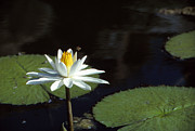 Lily Pads Framed Prints Prints - Lily Bee Print by Bob Whitt