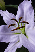 Garry Gay - Lily Close Up